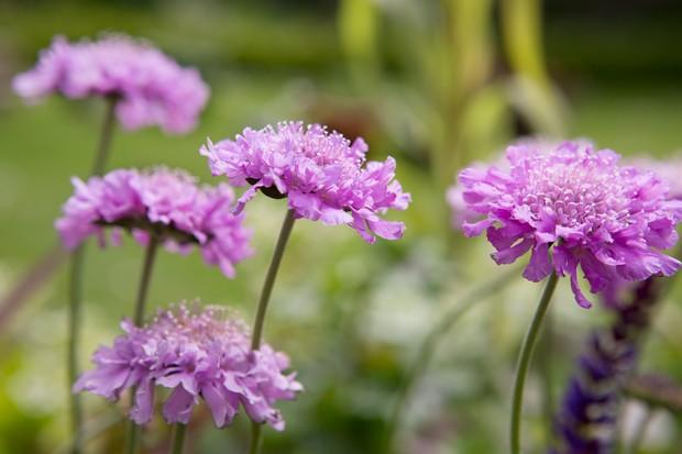 Scabious 'Pink Mist' in flower