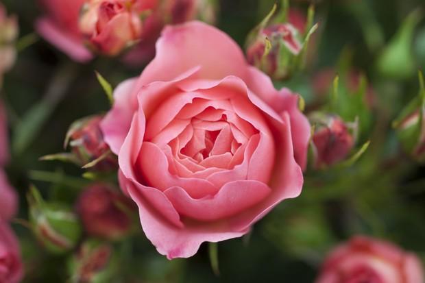 rosa-abbies-rose-2