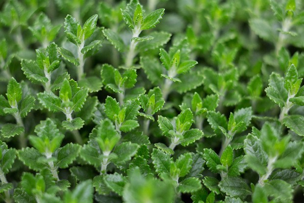 Textural hedge germander foliage