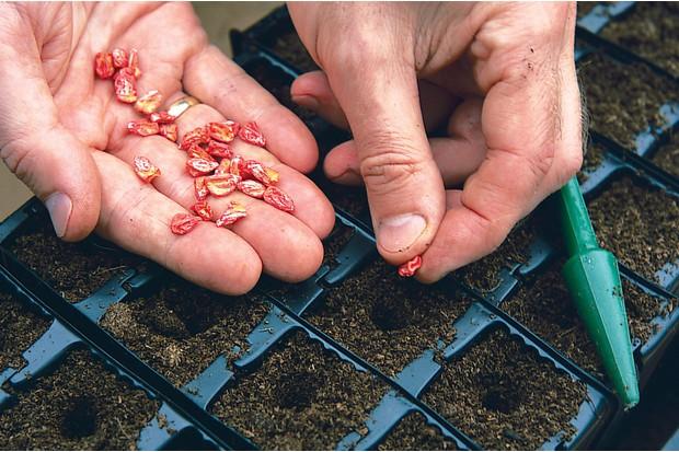 Sowing sweetcorn seed