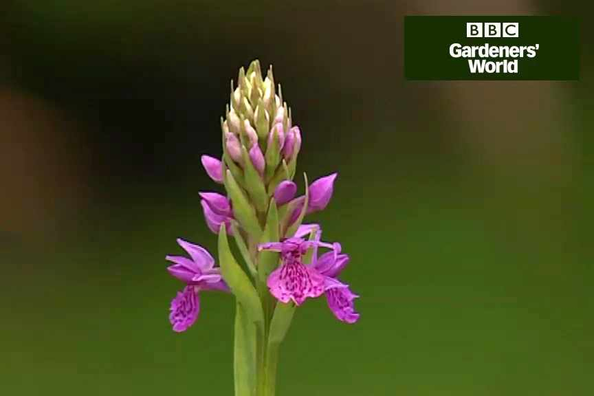 How to grow marsh orchids