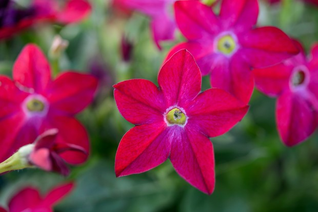 Red/magenta blooms of Nicotinia 'Domino Red'