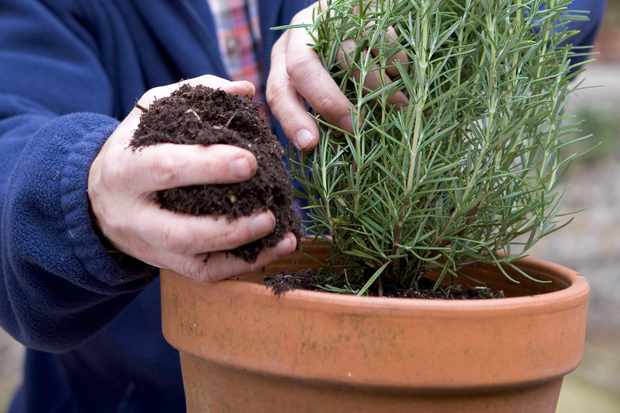 growing-rosemary-in-a-pot-2