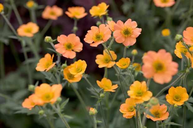 Orange geum flowers - variety 'Totally Tangerine'