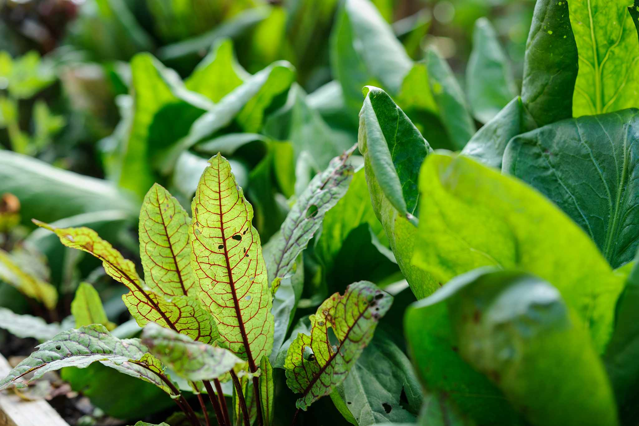 Eight of the Best Herbs for Shade