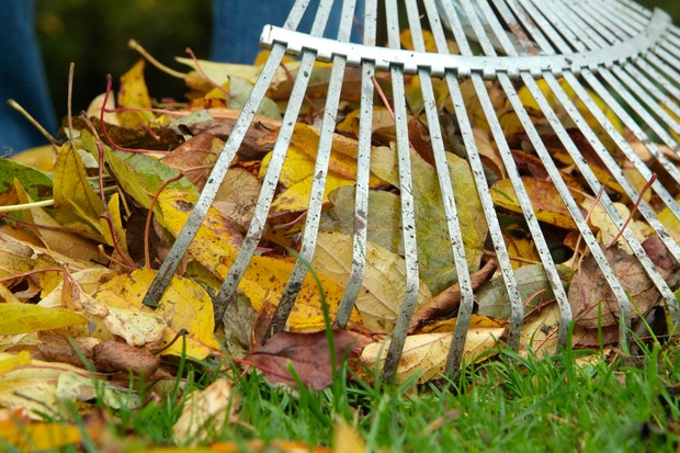 Gathering fallen leaves with a rake