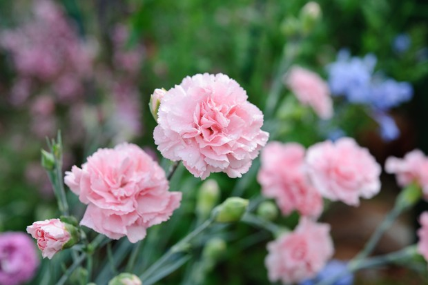 Pleasing 12 Key Plants For A Cottage Garden Bbc Gardeners World Download Free Architecture Designs Ponolprimenicaraguapropertycom