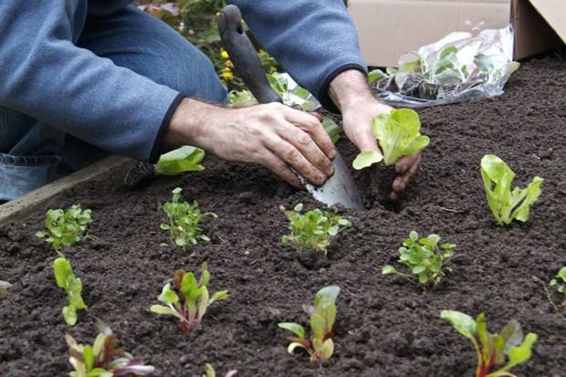 planting-out-veg-plugs-3