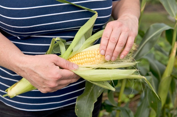Removing the husk of a freshly harvested sweetcorn to reveal the kernels