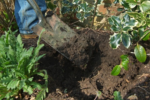Adding organic matter to a planting hole for peonies