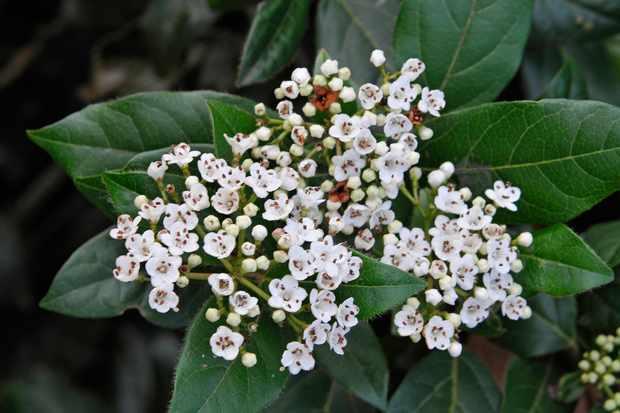 viburnum-tinus-4