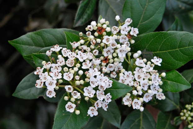 White viburnum flowers