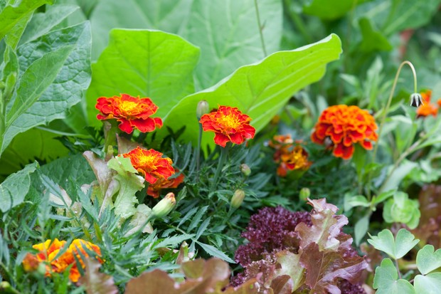 companion-planting-on-the-veg-plot-3