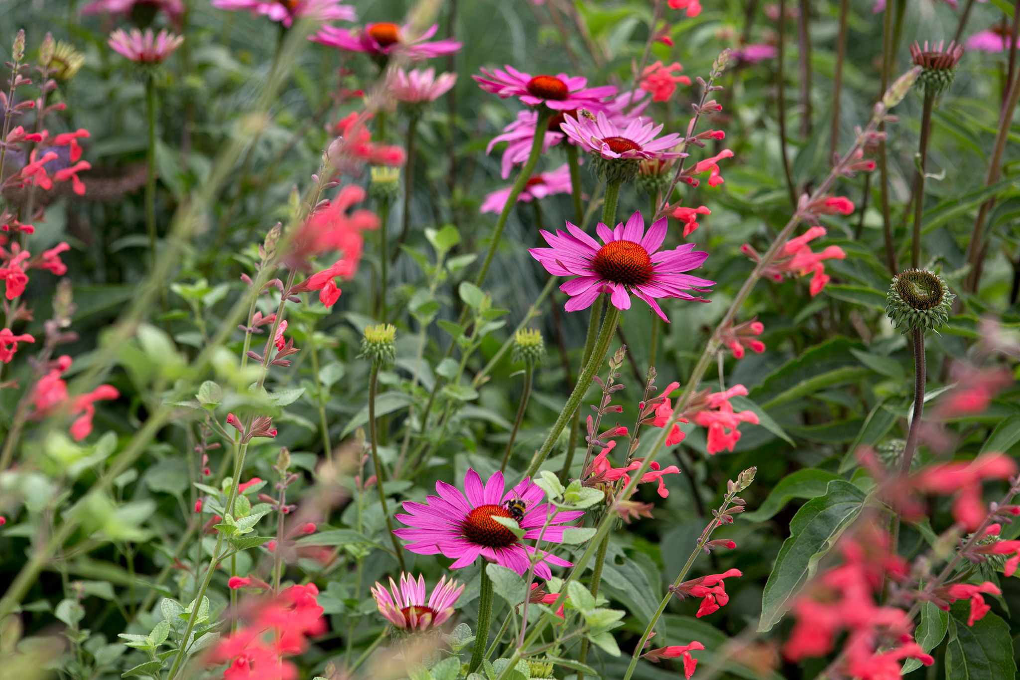 Echinacea and salvia