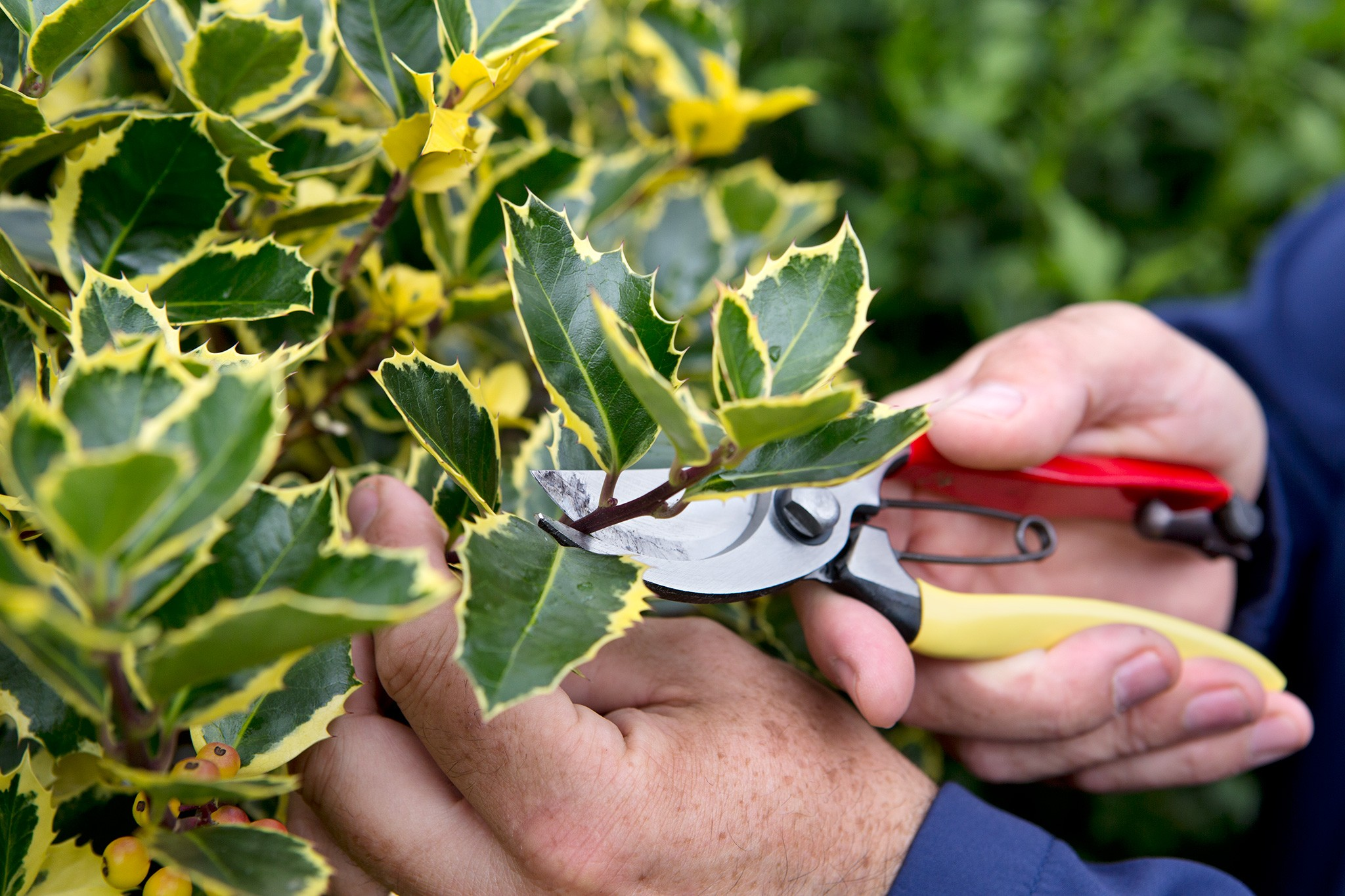 How to trim holly topiary