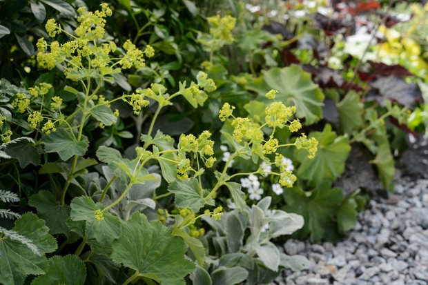 Light-green flowers and ornate laves of lady's mantle
