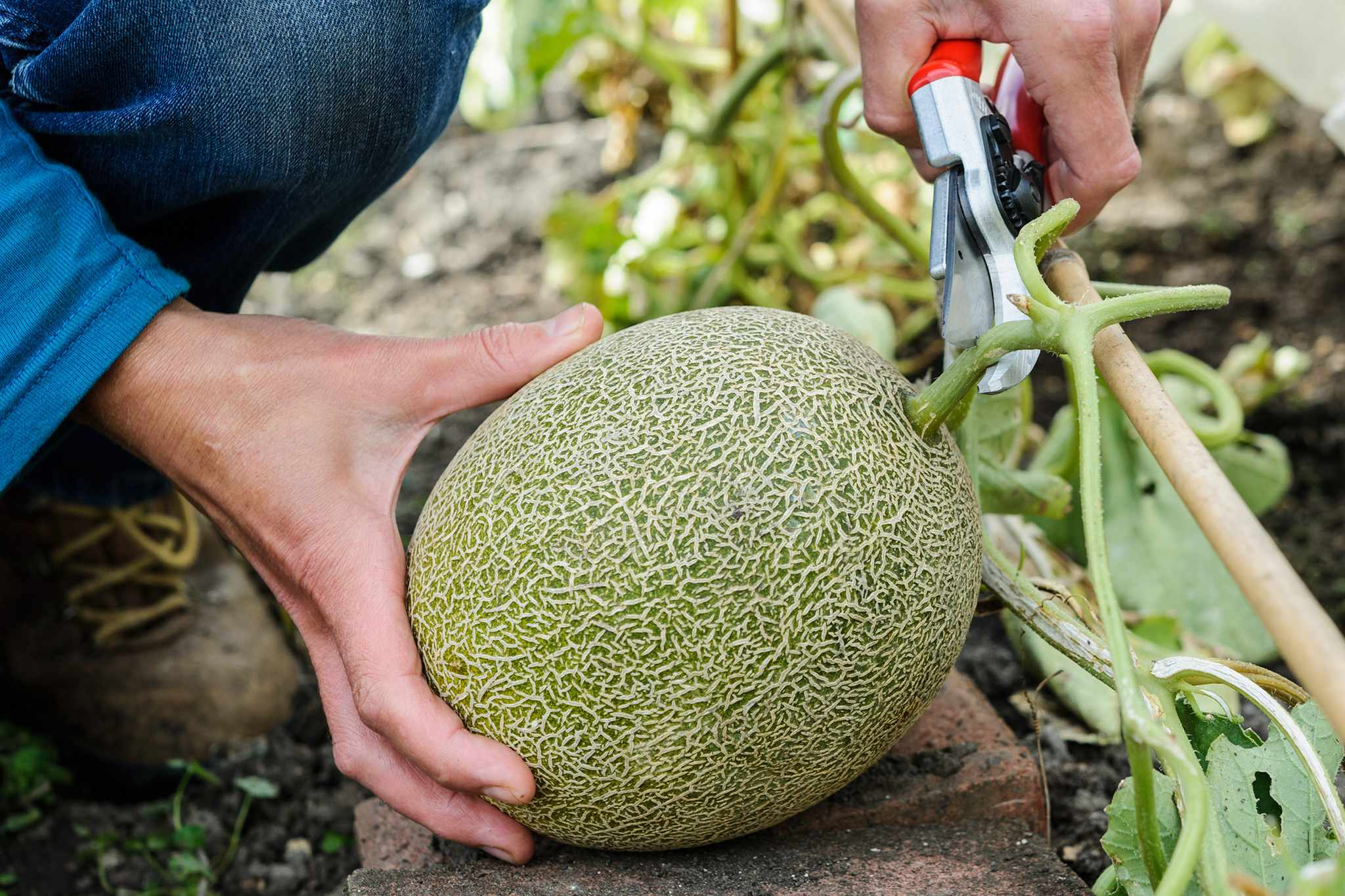 How to grow melons from seed