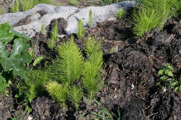 horsetail-equisetum-arvense-2