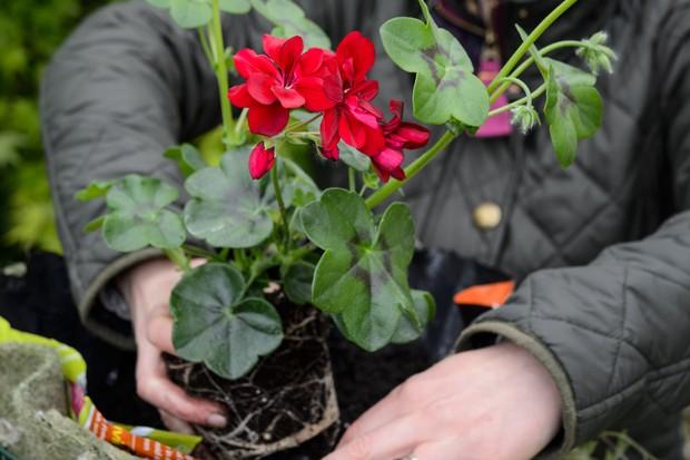 planting-a-pelargonium-in-a-hanging-basket