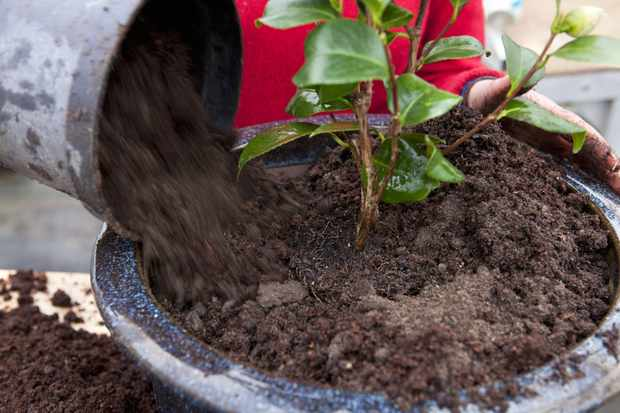 filling-in-compost-around-the-plant-2