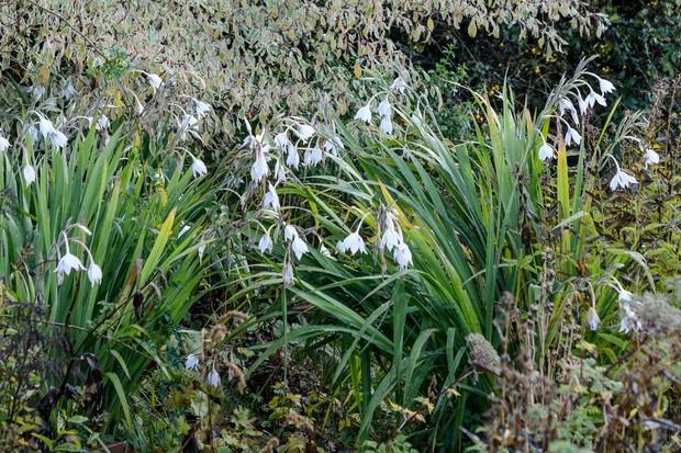 gladiolus-murielae-6