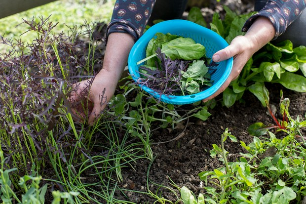 harvest-salad-leaves