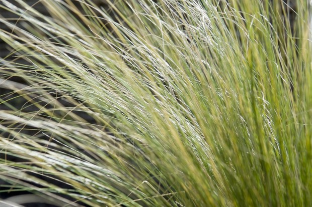 Fine, arching Mexican feathergrass