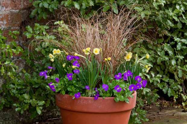 Narcissus and aubretia pot display