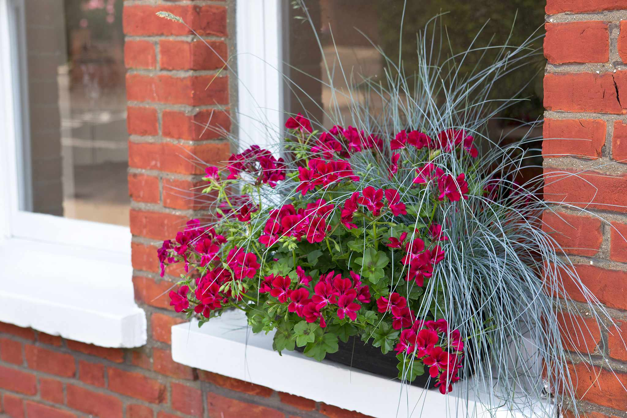 Plants for window boxes