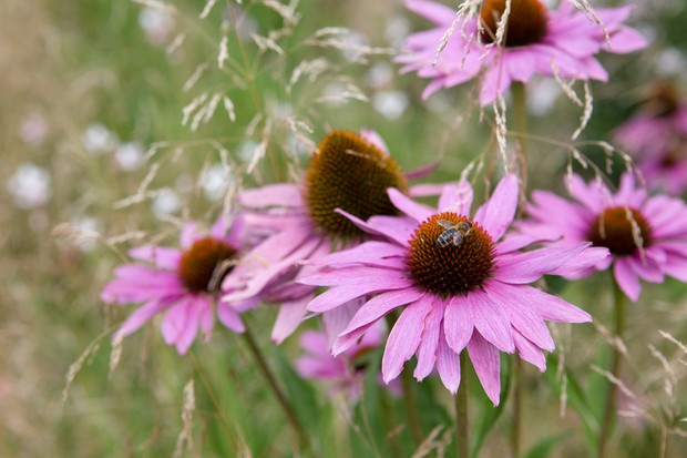 echinacea-purpurea-4