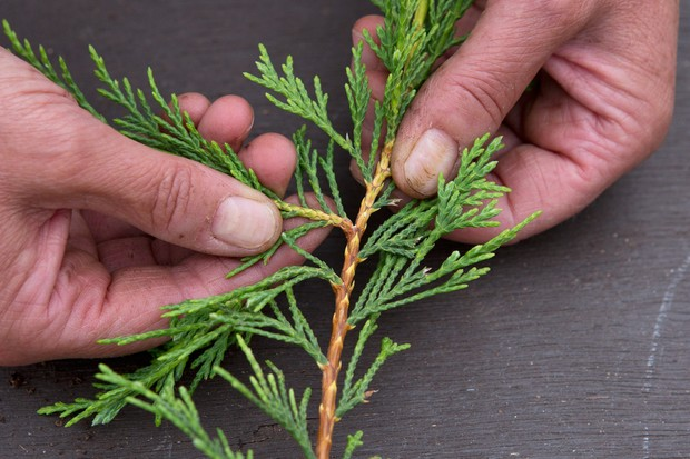how-to-take-cuttings-from-conifers-selecting-a-stem-2