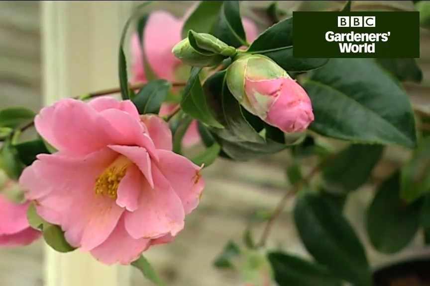 How to grow camellias