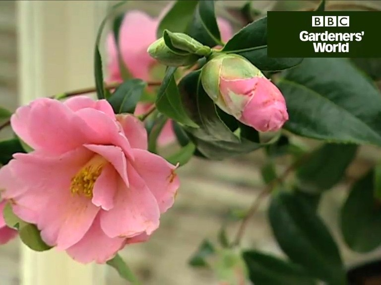 How to grow camellias