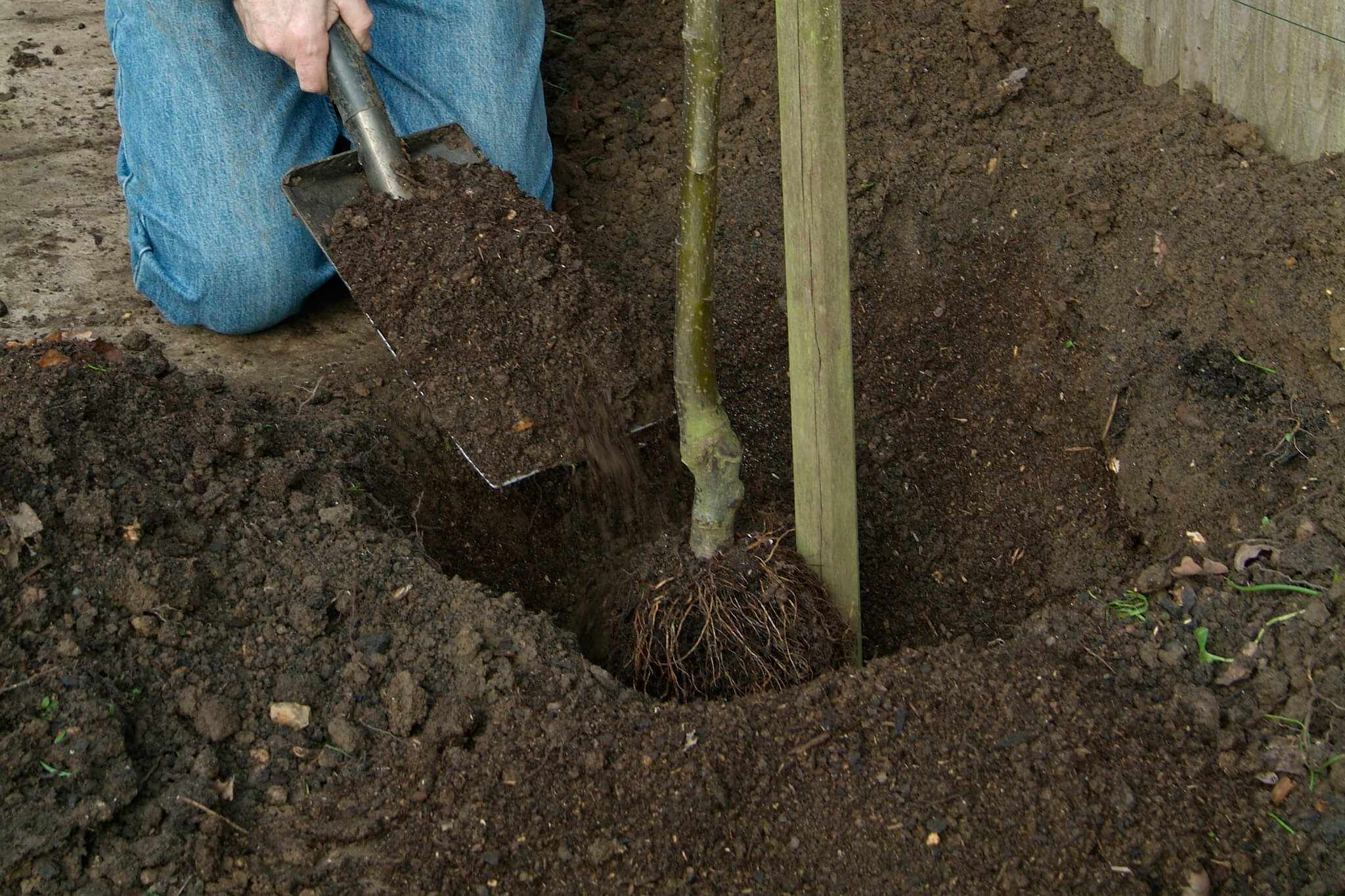 Plant a bare-root fruit tree
