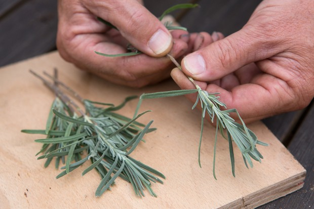 Removing the lower leaves of the lavender cutting