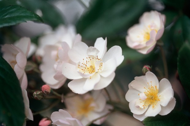 Hint-of-pink flowers of Rosa 'Wedding Day', with conspicuous yellow stamens