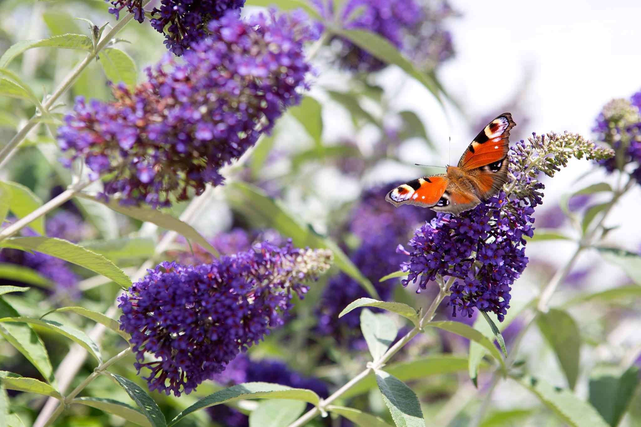 Shrubs for butterflies - Buddleja davidii 'Cotswold Blue'