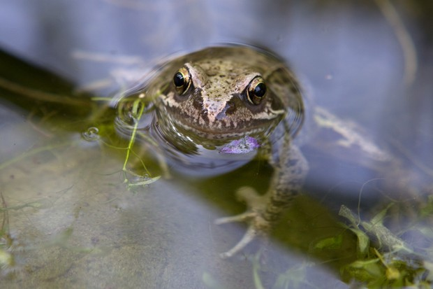 A frog sitting with its head above water in a pond