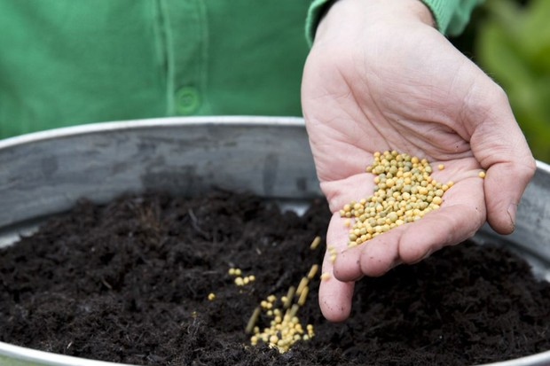 Heuchera and viola pot display - adding slow-release fertiliser