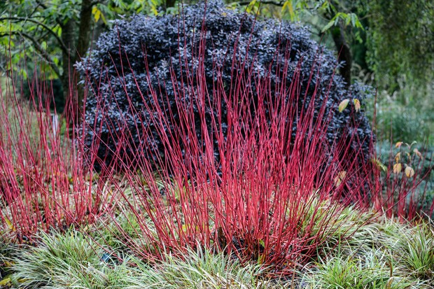 Bright red dogwood stems