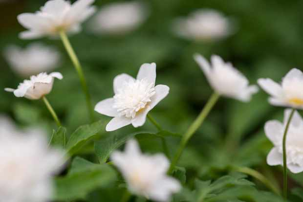 anemone-nemorosa-vestal-3