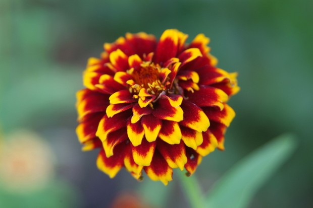 A red-brown and orange, double zinnia 'Aztec Sunset' flower