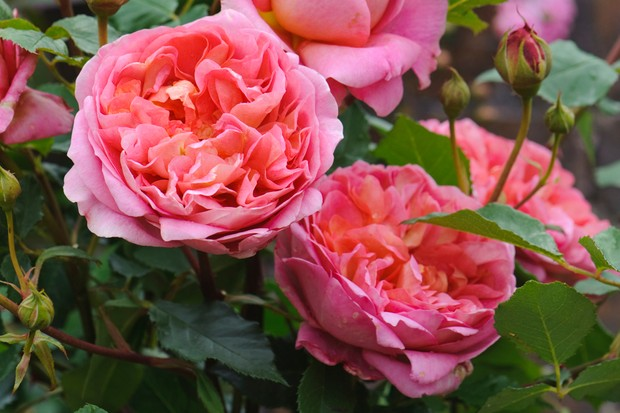 rosa-boscobel-auscousin-image-courtesy-of-david-austin-roses-2
