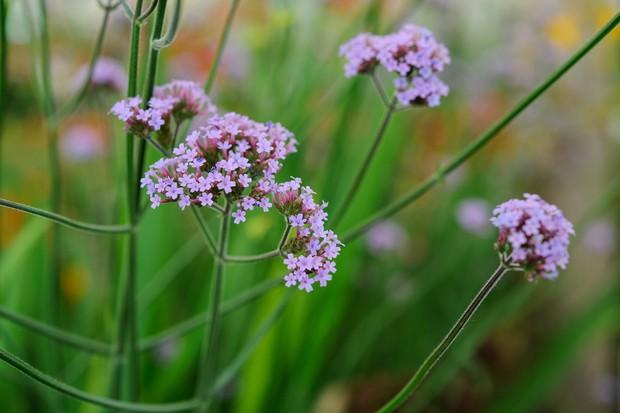 Verbena bonariensis flowerhead
