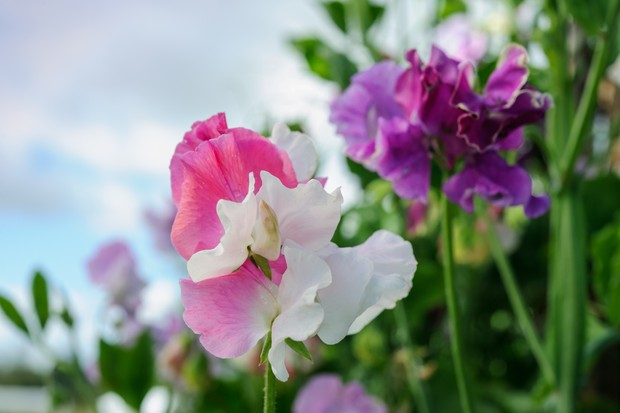 White, pink and purple bi-coloured blooms of Lathyrus odoratus 'Promiscuity'