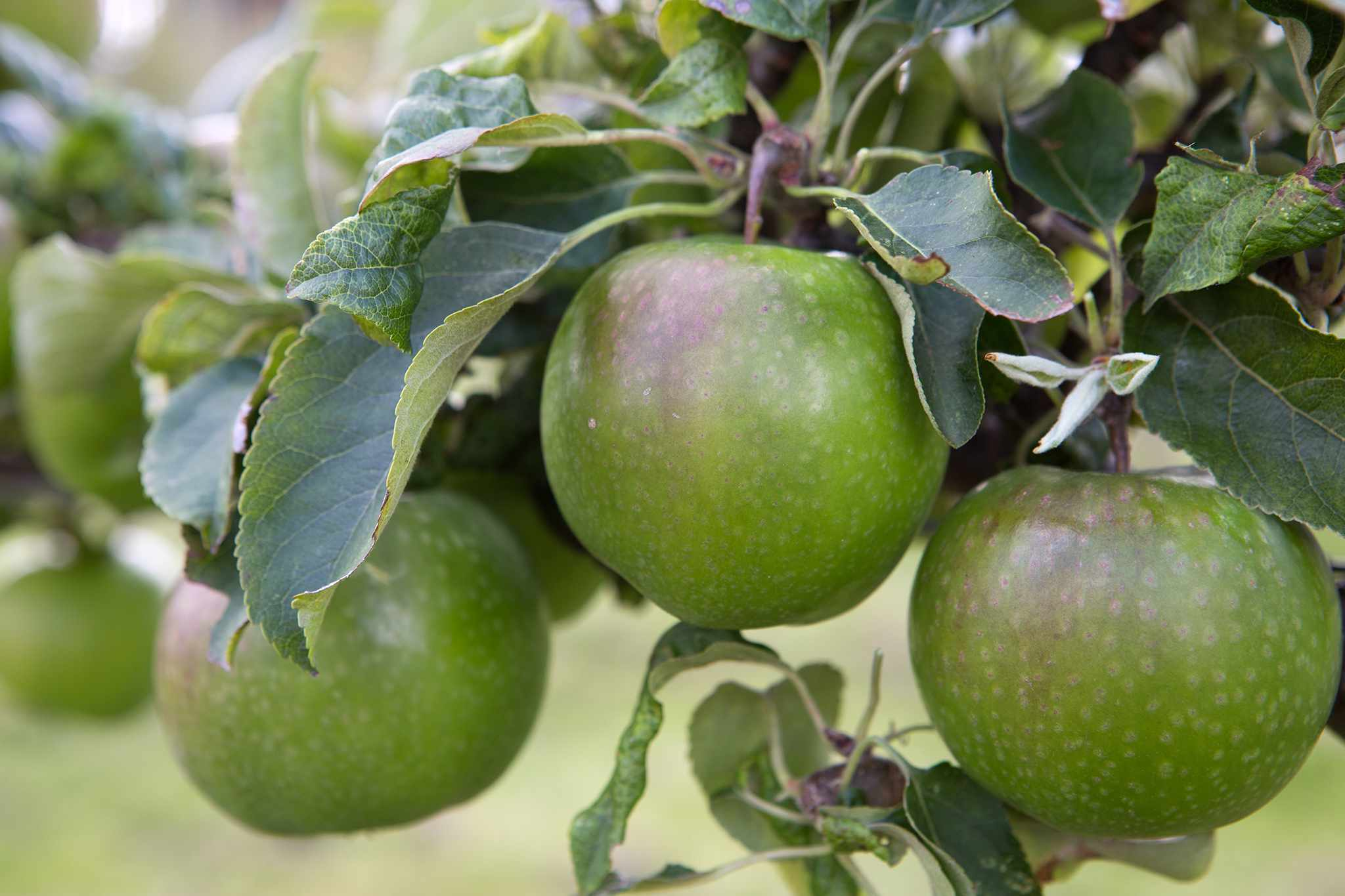 Raymond Blanc's Favourite Apples