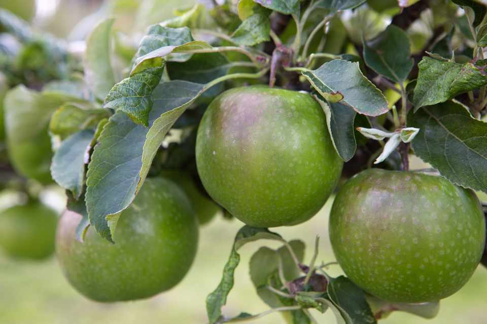 Green apples ripening on the tree