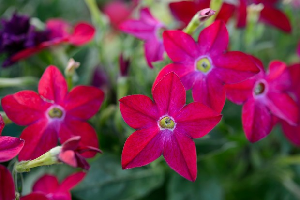 Pink-red flowers of tobacco plant 'Domino Red'