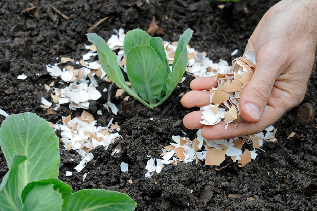 How to plant brassicas - using eggshells to ward off slugs and snails