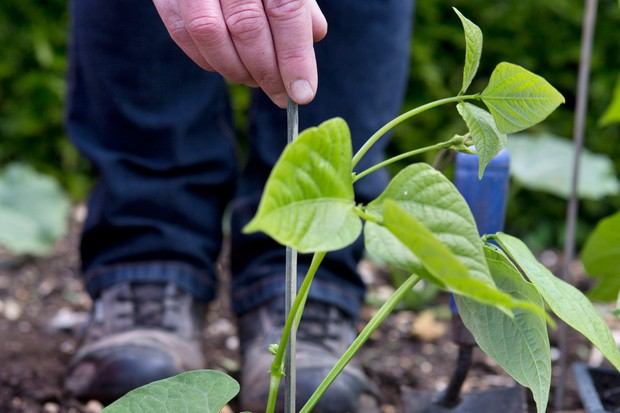 How to plant out French beans - adding plant supports